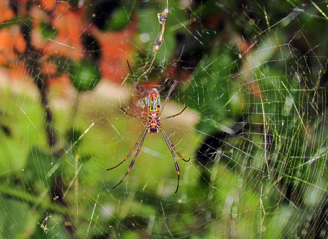 Animal Themes Animals In The Wild Botany Close-up Colourful Dangerous Focus On Foreground Insect Insect Photography Macro Insects Macro_collection Macroclique Natural Pattern One Animal Selective Focus Spider Spider Spider Web Spiders Spiderweb Springtime Web Wildlife Wildlife & Nature
