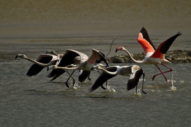 Animal Animal Themes Animal Wing Animals In The Wild Bird Flamingos Flamingos In Water Flying Nature Tranquility Water Wildlife Perspectives On Nature