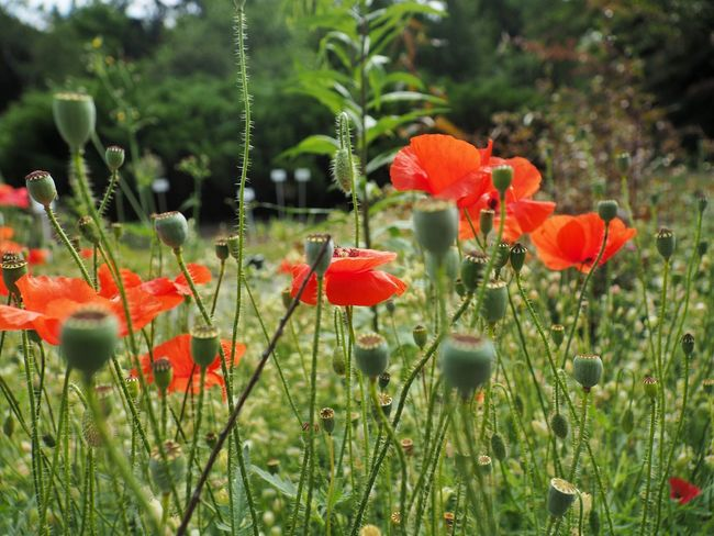 Botanic Garden of Jagiellonian University Olympus Poland Beauty In Nature Botanical Garden Close-up Field Flower Flower Head Flowering Plant Fragility Freshness Green Color Growth Inflorescence Land Nature No People Orange Outdoors Petal Plant Plant Stem Poppy Red Vulnerability