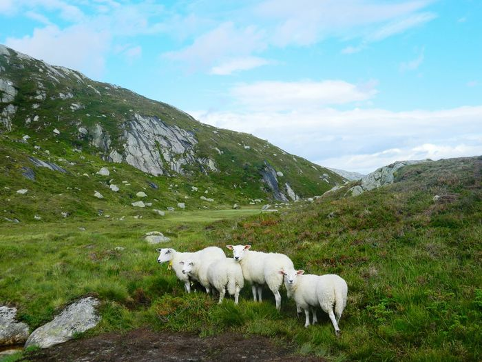 Animal Sheep Mountain Nature Beauty In Nature Nature Photography Travel