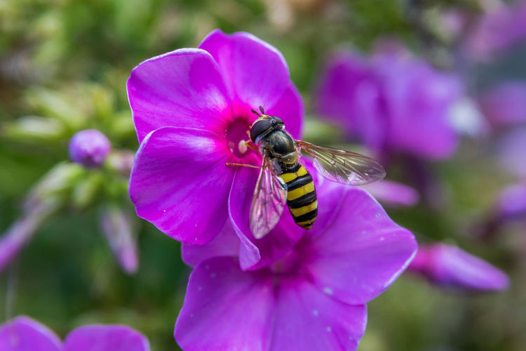 Bee Close-up Flower Garden Insect Macro Nature Outdoors Pink Wildlife Yellow