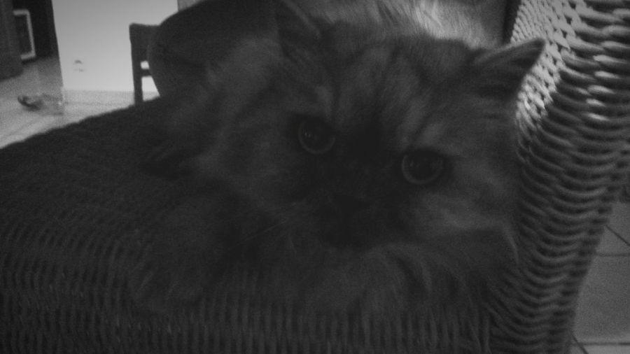 Cat Lovers Persan Cat Chouchou vous souhaite une bonne année. ..