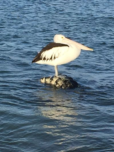 Serenity amidst tidal wave Animal Wildlife Animals In The Wild Bird Nature One Animal Outdoors Pelican Perching Rippled Water