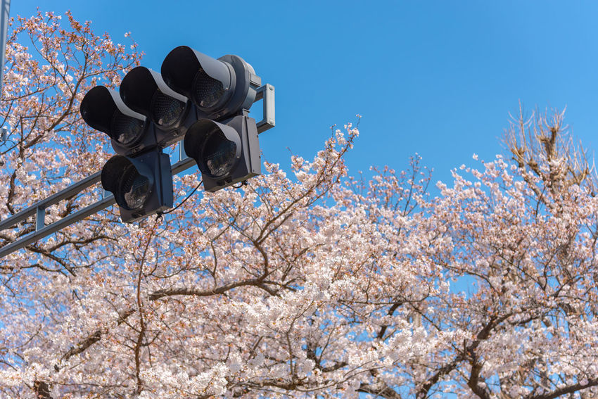 Traffic light with Cherry blossoms, Tokyo, Japan. ASIA Cherry Blossom Green Japan Light Pole Red Street Light Street Lamp Tokyo Traffic Travel Blossom Cherry Tree Flower Lamp Standard Lamppost Light Standard Season  Signal Lights Spring Stoplight Traffic Lamp Traffic Semaphore Traffic Signals Yellow