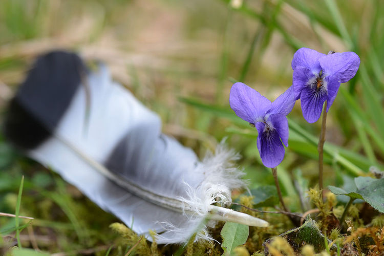 wild violets and a feather of a bird on fresh moss Violet Flowers Violet Wildflower Feather  Focus On Foreground Purple Flower Flowering Plant Plant Fragility Nature Freshness Growth Close-up Selective Focus Flower Head Softness Inflorescence Outdoors Field Beauty In Nature EyeEmNewHere EyeEm Best Edits EyeEm Nature Lover