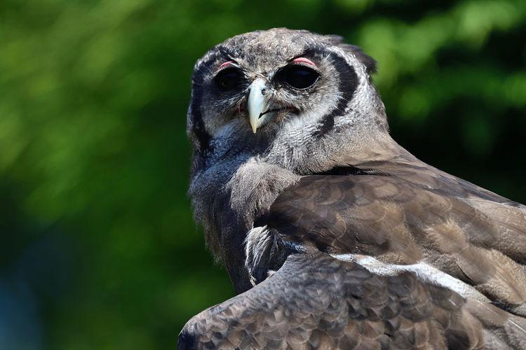Close up portrait of a verreauxs eagle owl