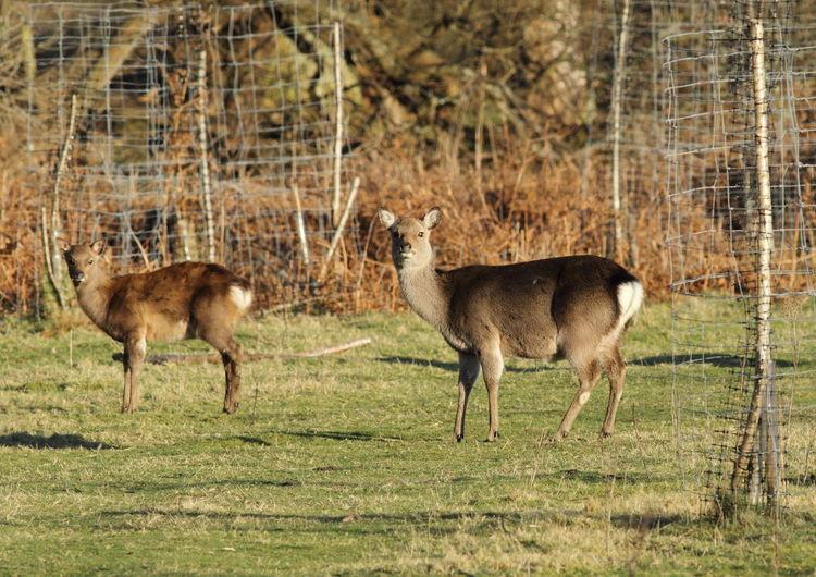 Poole Poole Harbour Poole, Dorset RSPB RSPB Arne Doe Fawn Rspb_love_nature Sika Deer Sikadeer
