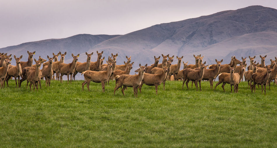 Herd Of Deer On Grassy Field Against Sky