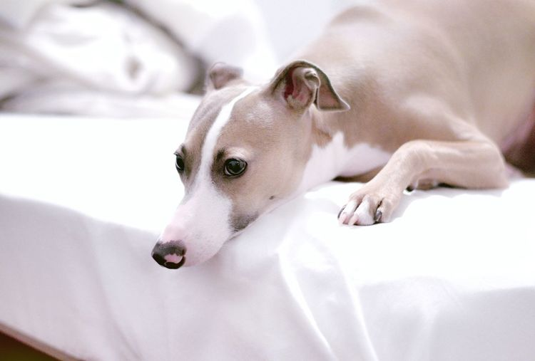 Bedroom eyes Partner Collection The Partner Collection Italian Greyhounds Sold Lazy Boy Bedroom Eyes Italian Greyhound Pets Dogs Sighthound Ludwig Sweet Dreams Everybody Loves Ludy Eyeem Collection Getty Images Light Dog Breeds Pets In Bed BREEZY Pet Portraits Premium Collection Health Healthy EyeEm Selects