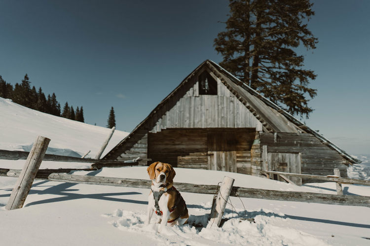 Beagle dog in the snow Animals Beagle Beaglelovers Beagle Channel Beagles  Beagleoftheday Dog Dogs Dogs Of EyeEm Winter Wintertime Winter Sport Snow Snowing Cold Temperature Pets One Animal Domestic Animals Animal Nature Tree Architecture Canine Old House Chalet