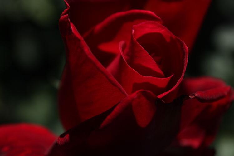Con una rosa.