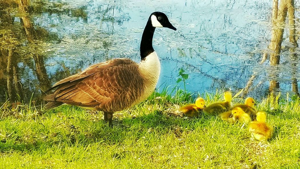 Following a family of geese as they share my walking trail gives me great joy as I follow their growth from newborn into adulthood. Goose Geese Babies Goslings Nature Wildlife Birds Water Tree Reflections From My Eyes To Yours Letgodhandleit Waterfowl Family Blue Water Riverbank Little Ones Newborn Hello World Mother Protective Hatchlings From My Point Of View Portrait Looks Like A Painting The Following EyeEm Diversity TCPM Break The Mold