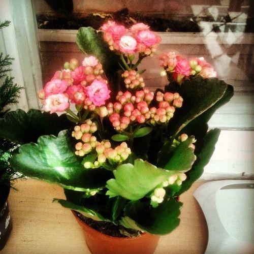 его зовут Василий.)) я его везла на коленках с казахстана он прекрасен особенно зимой))) Kalandiva Flowers Love Vasiliy