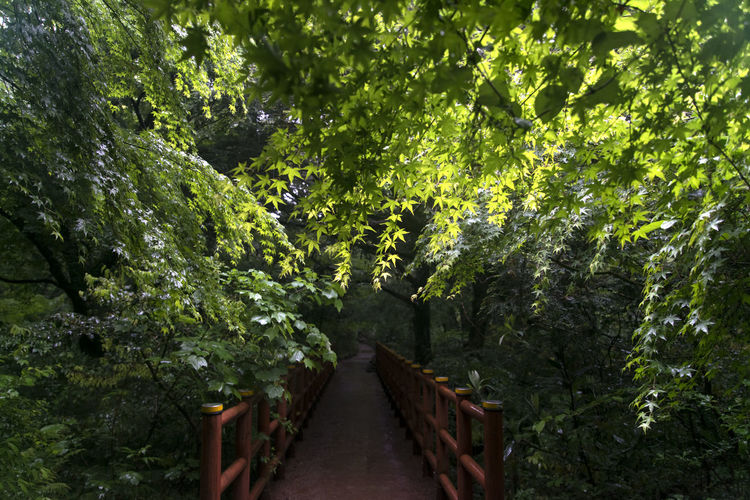 rainy day of Bijarim which is a famous forest in Jeju Island, South Korea Beauty In Nature Bijarim Day Foliage Forest Growth JEJU ISLAND  Maple Nature No People Outdoors Pathway Rainy The Way Forward Tree
