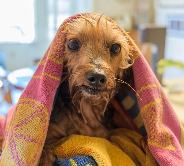 Yorkie Rescue Dog not happy with his bath EyeEm Pet Lover EyeEm Pets Shelter Dog Yorkshire Yorkshire Terrier Yorkshire Terrier♡ Brown Canine Close-up Dog Domestic Domestic Animals Focus On Foreground Mammal One Animal Pets Rescue Rescue Dog Shelter Terrier Towel Vertebrate