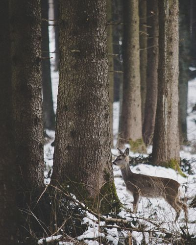 Deer in the forest Cold Cold Temperature Cold Weather Cold Days White White Background Deer Doe Forest Forest Photography Forest Trees Winter Winter2018 Animals Animal Trees Nature