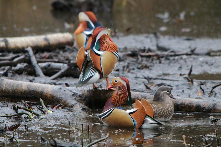 Mandarin Ducks At Muddy Lake