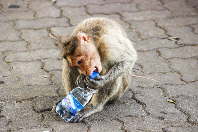 MONKEY DESIROUS OF DRINKING WATER... THIRSTY... TROUBLING TO OPEN LID OF THE WATER BOTTLE EyeEm Selects Monkey Thirsty?  Water Bottle  Cap Of Bottle Mammal Wild Animal A New Beginning