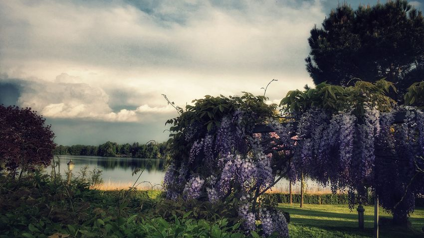 Still walking around the lake... Tree Nature Growth Beauty In Nature Sky Flower Cloud - Sky No People Outdoors Purple Freshness Scenics Landscape IPhoneography Walking Around Eye4photography  EyeEm Nature Lover From My Point Of View Lake Montorfano in Brianza