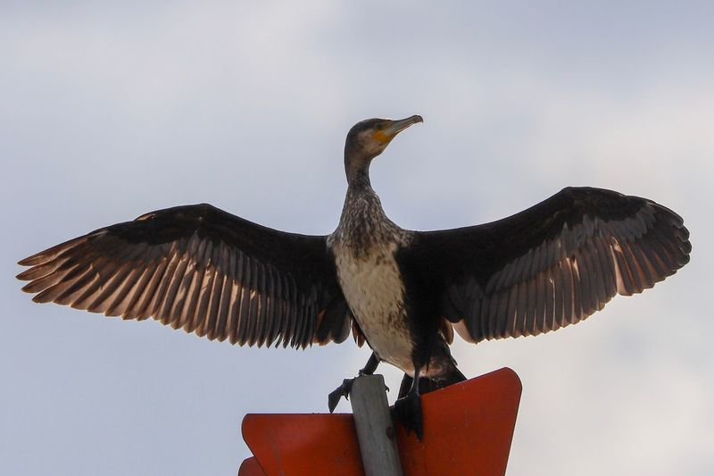 Cormorant in the sun Birds Bird Photography Beauty In Nature Eyemphotography Bird Sky Animal Vertebrate Animal Themes Animal Wildlife Animals In The Wild Spread Wings One Animal Clear Sky Outdoors Nature
