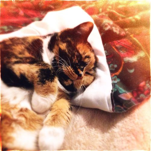 Cat Cats Cat♡ Catsagram Calico Calicocat Hipstamatic