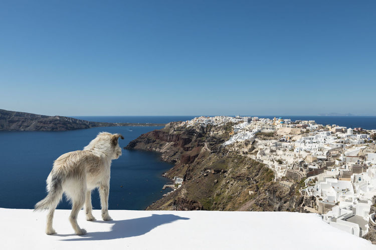 Stray Dog Overlooking Oia Santorini Aegean Sea Clear Sky Famous Sunlight Animal Animal Themes Architecture Blue Blue Sky Building Exterior Clear Sky Copy Space Day Domestic Domestic Animals Greece Mammal Nature No People Oia One Animal Outdoors Santorini Sea Sky Stray Cat Sunlight Vertebrate Village Water The Traveler - 2018 EyeEm Awards