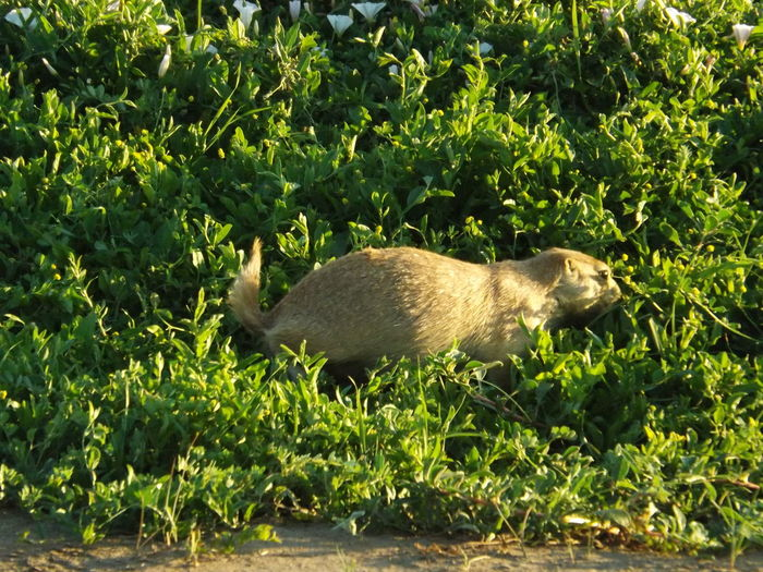 North Dakota North Dakota Badlands Animal Wildlife Animals In The Wild Day Land Mammal Nature No People One Animal Outdoors Plant Prairie Dog Close Up Prairie Dogs Theodore Roosevelt National Park Vertebrate