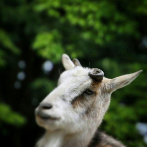 InokashiraParkZoo ヤギ ZOO-PHOTO Zoo ZOO-PHOTO