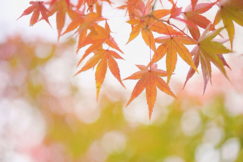Autumn Leaf Change Orange Color Maple Leaf Close-up Maple Tree Nature Maple Tree Branch Beauty In Nature Red No People Day Outdoors