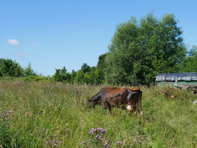 Inek Sapi Vache корова 牛 Animal Themes Beauty In Nature Cow Domestic Animals Farm Animal Field Grass Grazing Kuh Livestock Mammal Nature One Animal Tree بقرة गाय स्वर्ग 天堂 암소 천국