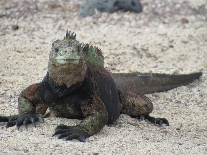 Marine iguana looking at the camera Iguana Animals In The Wild Animal Wildlife Animal Themes Day One Animal No People Sand Reptile Lying Down Beach Nature Outdoors Close-up An Eye For Travel An Eye For Travel