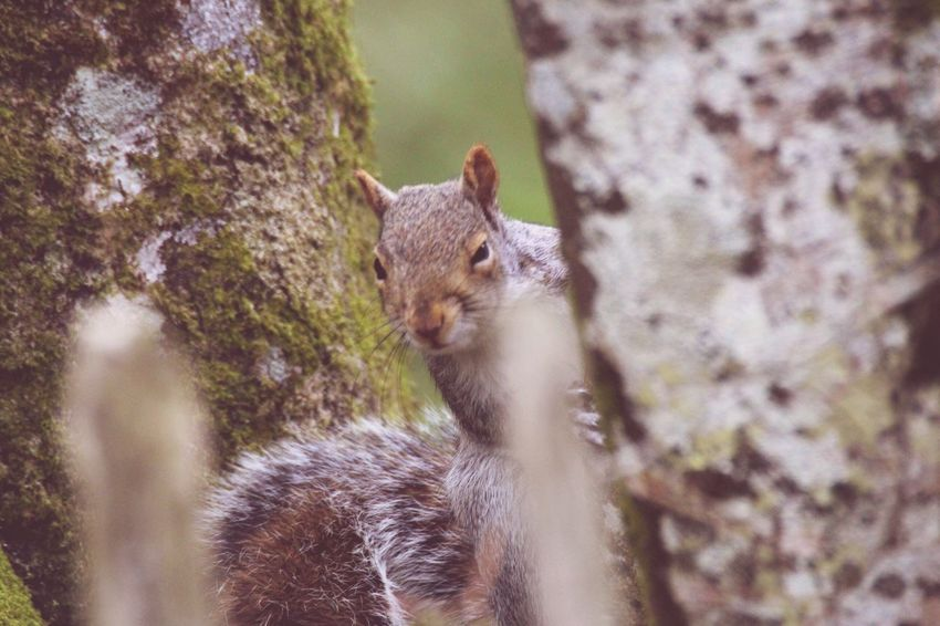 'Did someone say nuts?' 🐿 Animal Themes Animals In The Wild One Animal Mammal Day Animal Wildlife Squirrel Nature Outdoors No People Close-up Tree
