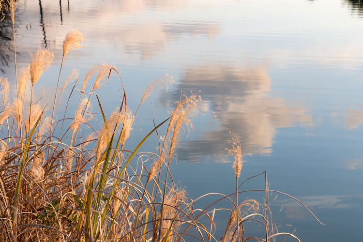 Grass Lake Nature Pond Reflection Silver Grass Sunset Water Wintertime
