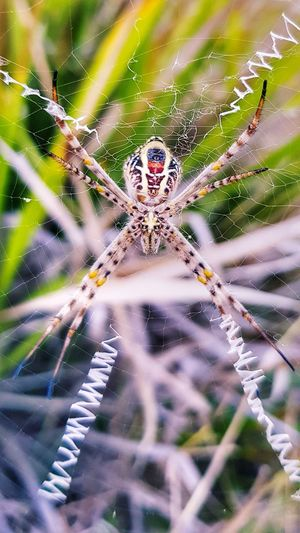 St Andrews Cross Spider Spider Web Intricacy Fragility Spider Web Close-up Animal Wildlife Outdoors Samsung Galaxy S8 Nature Beauty In Nature