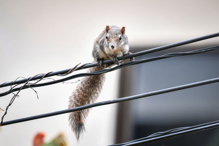 Low angle view of squirrel on metal fence