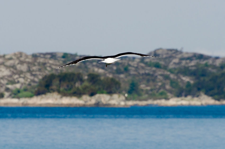 Seascape Seagull SEAGULL IN FLIGHT Seagulls And Sea Coast Coastline Norway Western Norway Nature