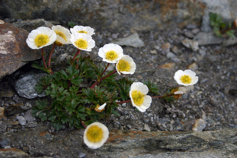 Alps Austria ❤ Beauty In Nature Beauty In Nature Blossoms  Close-up Flower Flower Head Flowers Freshness Leaf No People Plants River Stones And Flowers White Blossoms