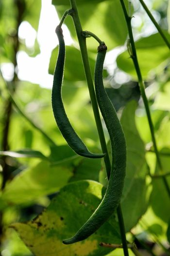runner beans Green Color Nature Growth Spiral Focus On Foreground Tendril Plant No People Close-up Day Outdoors Beauty In Nature Animal Themes Runner Beans Beans Bean Plant Garden Photography EyeEm Nature Lover EyeEm Gallery Macro Photography
