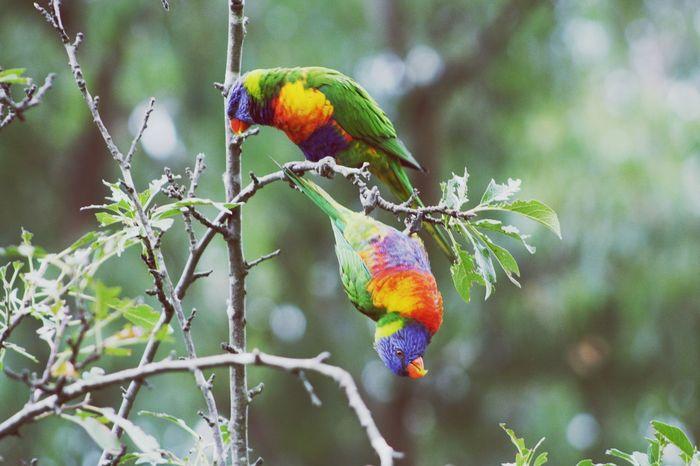 Rainbowlorikeet Birds Australia