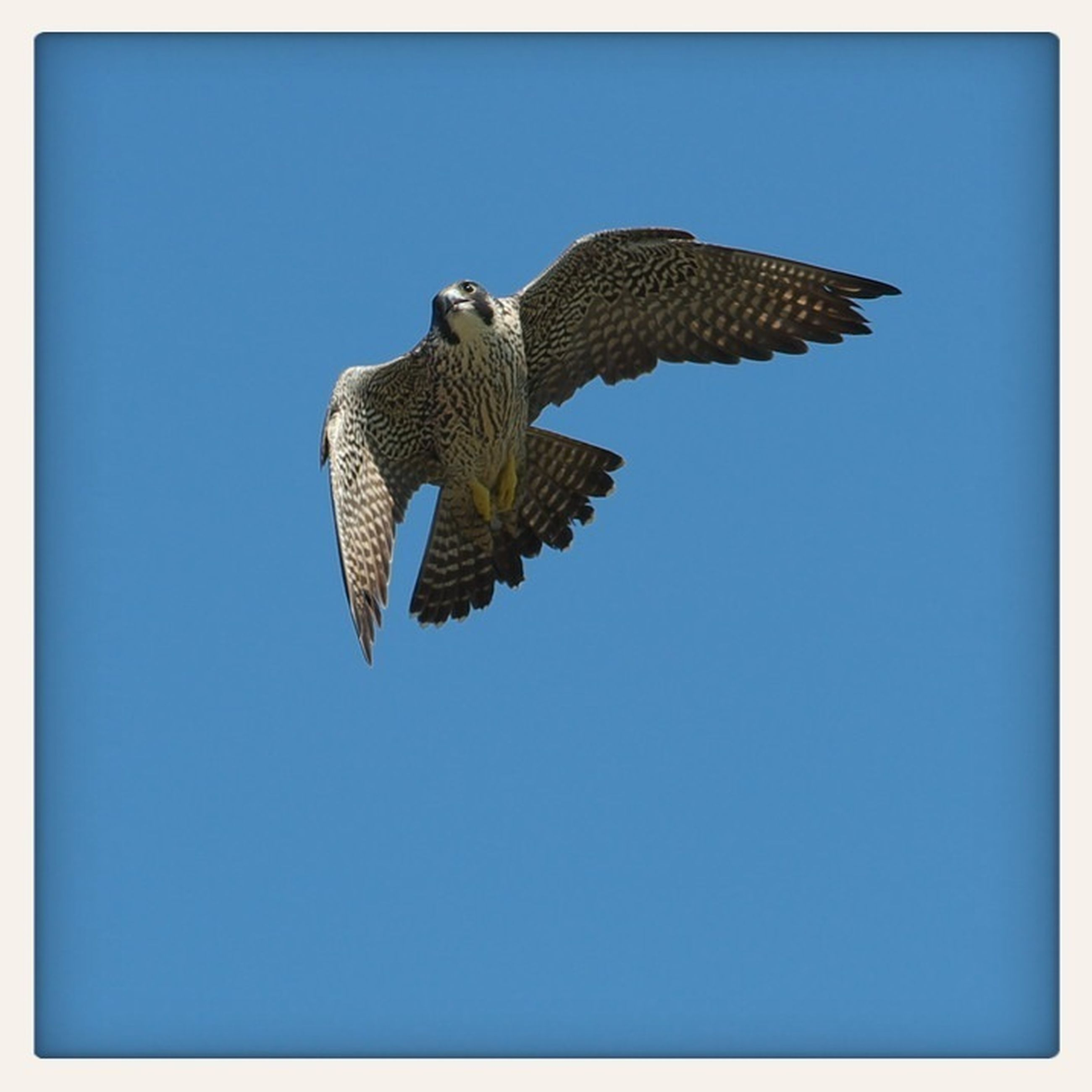 animal themes, clear sky, one animal, animals in the wild, transfer print, blue, wildlife, spread wings, low angle view, flying, copy space, bird, auto post production filter, full length, mid-air, nature, day, zoology, no people, outdoors