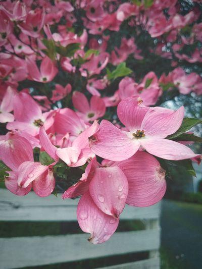 Dogwood Dogwoods Dogwood Flower Dogwood Flowers Dogwood Tree Dogwood Trees Flower Head Flower Pink Color Petal Close-up Plant