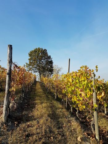 Langhe Roero Hill Tranquility Vineyards In Autumn Autumn Autumn Colors Travel Destination Vineyard Growth Agriculture Outdoors Sky Nature Day Rural Scene No People
