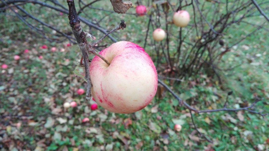 яблоки фрукты Природа осень эстония флора Еда фото природы прибалтика Капли воды урожай Nature Garden Apples Harvest Fruits Water Drops Food Tasty Juicy Autumn Estonia