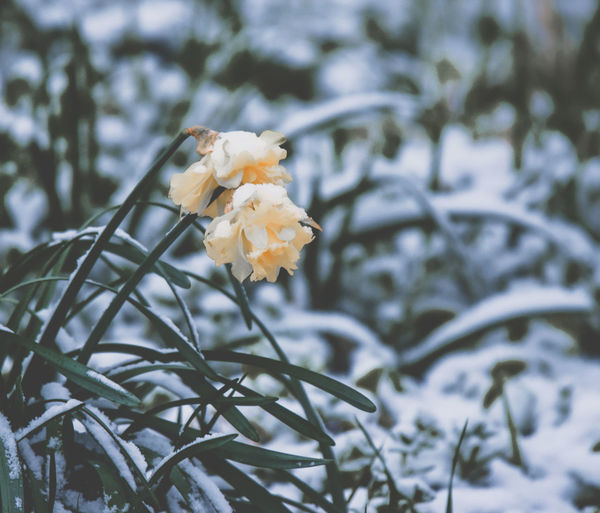 Beauty In Nature Close-up Cold Temperature Day Flower Flower Head Flowering Plant Focus On Foreground Fragility Freshness Growth Inflorescence Nature No People Outdoors Petal Plant Snow Springtime Vulnerability  White Color Winter