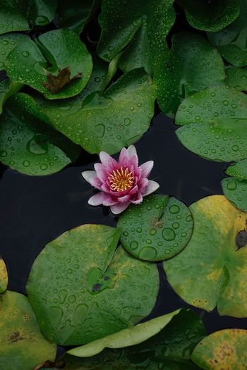 Lotus Pond Flower Plant Leaf Growth Green Color Plant Part Beauty In Nature Flowering Plant Flower Head Floating On Water Petal