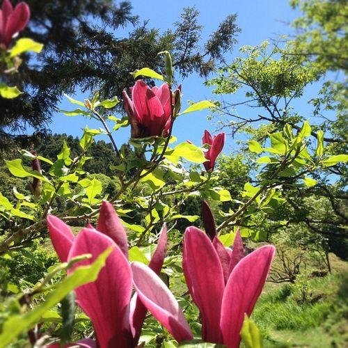 Itaiwan Formosa Taiwan Travel instatravel instamood instadaily instaphoto iphonesia alishan flower instaflower magnolia lily lilymagnolia 木兰 Lily magnolia in Alishan 阿里山中的木兰花