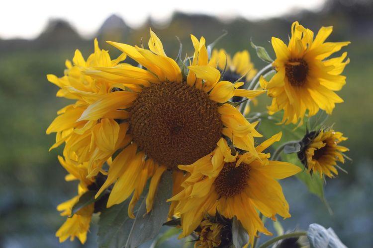 Sunflower Flower Flowers Flowerporn Flower Collection Nature Helios 44-2 58mm F2 Helios 44-2 44-2 EyeEm Nature Lover