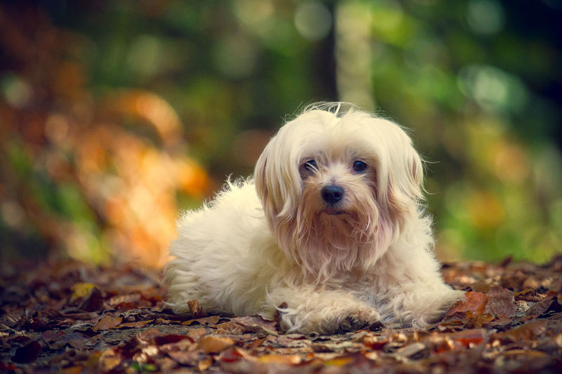 My sweet little boy Dog Dog❤ Maltese Forest Autumn Bokeh