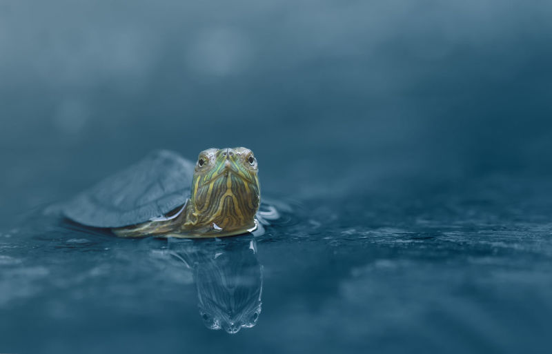 Close-up of tortoise swimming in lake