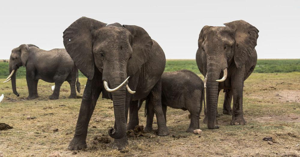 Elephants and calf on field